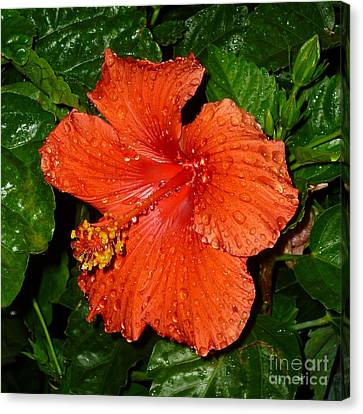 Canvas Print featuring the photograph Red Hibiscus After The Rain by Renee Trenholm