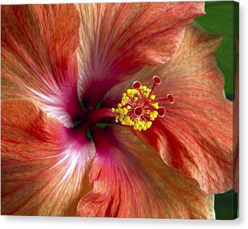 Red Hibiscus Canvas Print by Catherine Booth-Smith