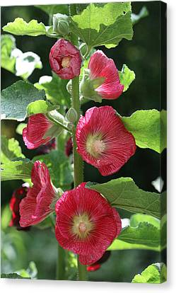 Canvas Print featuring the photograph Red Hollyhocks by Peg Toliver