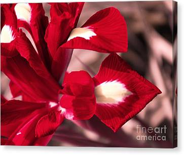 Canvas Print featuring the photograph Red Iris by AmaS Art