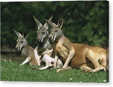 Red Kangaroo Macropus Rufus Trio Canvas Print by Konrad Wothe