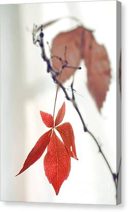 Red Leaf Canvas Print - Red Leaf by HD Connelly