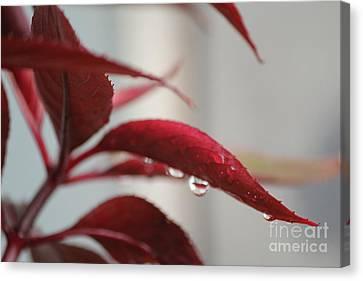 Red Leaf Waterdrops Canvas Print