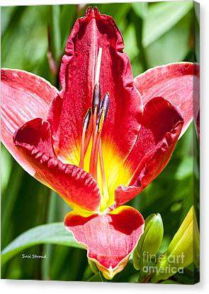Red Lily Canvas Print by Susi Stroud
