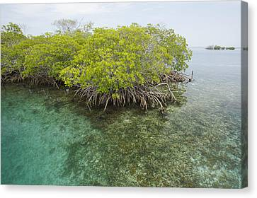 Red Mangrove Trees On An Offshore Canvas Print by Tim Laman