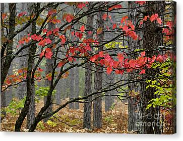 Red Maple - D004247 Canvas Print by Daniel Dempster