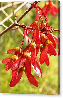 Red Maple Keys Canvas Print by Debra Spinks