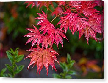 Canvas Print featuring the photograph Red Maple Season by Ken Stanback