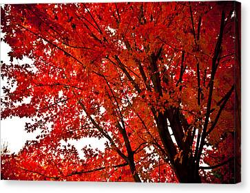Red Maple Tree Canvas Print by Kamil Swiatek