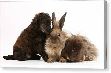 Red Merle Toy Poodle Pup, Guinea Pig Canvas Print by Mark Taylor