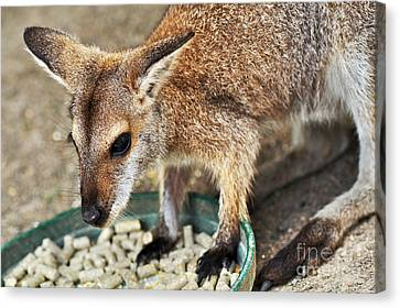 Red-necked Wallaby Canvas Print by Kaye Menner