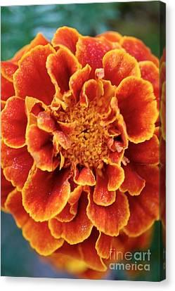 Red-orange Marigold Canvas Print