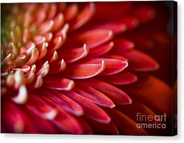 Red Petals Abstract 1 Canvas Print by Clare Bambers
