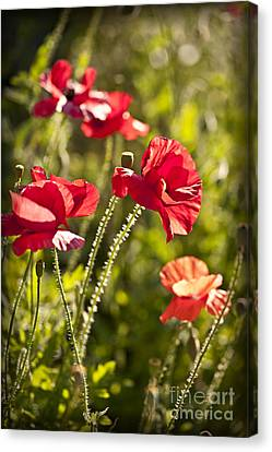 Red Poppies Canvas Print by Elena Elisseeva