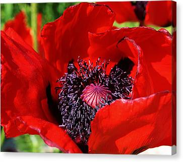 Red Poppy Close Up Canvas Print