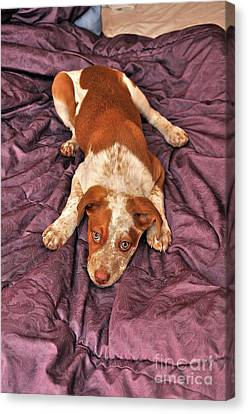 Red Puppy Canvas Print by Phil Capadouca