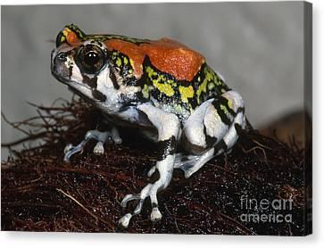 Red Rain Frog Canvas Print by Dante Fenolio
