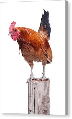 Red Rooster On Fence Post Isolated White Canvas Print by Cindy Singleton