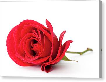 Red Rose Canvas Print by Andrew Dernie