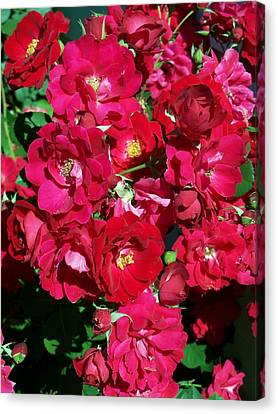 Red Rose Bush Canvas Print