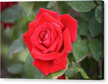 Canvas Print featuring the photograph Red Rose by Donna  Smith