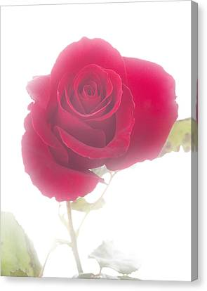 Red Rose Isolated On White Fog Canvas Print by M K  Miller