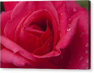 Canvas Print featuring the photograph Red Rose With Rain Tears by Darleen Stry