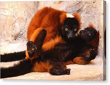 Red Ruffed Lemurs Grooming Canvas Print