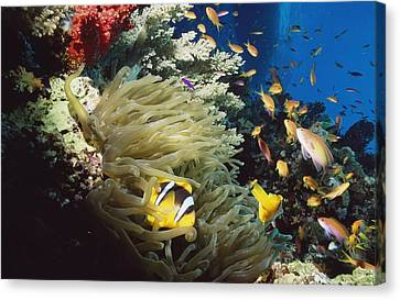 Red Sea Anemone Fish Amphiprion Canvas Print by Axiom Photographic