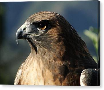 Red Shoulder Hawk Canvas Print
