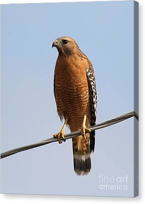 Red-shouldered Hawk . 7d10246 Canvas Print by Wingsdomain Art and Photography