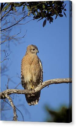 Red-shouldered Hawk Buteo Lineatus Canvas Print by Konrad Wothe