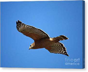 Red Shouldered Hawk In Flight Canvas Print by Carol Groenen