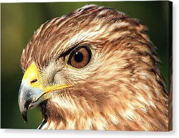 Red Shouldered Hawk Canvas Print