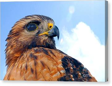 Canvas Print featuring the photograph Red Shouldered Hawk Portrait by Dan Friend