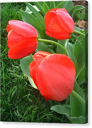 Red Spring Tulips Canvas Print