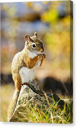 Squirrel Canvas Print - Red Squirrel by Elena Elisseeva