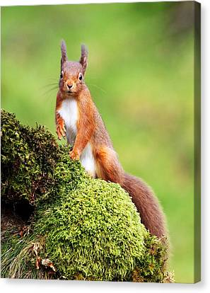 Red Squirrel Canvas Print by Grant Glendinning