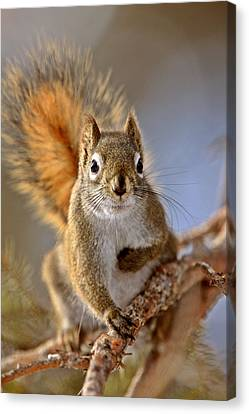 Red Squirrel In Winter Canada Canvas Print by Mark Duffy