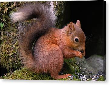 Canvas Print featuring the photograph Red Squirrel by Lynn Bolt