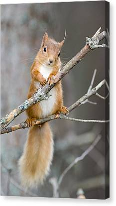 Red Squirrel On A Branch Canvas Print by Duncan Shaw