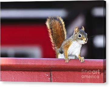 Red Squirrel On Railing Canvas Print by Elena Elisseeva