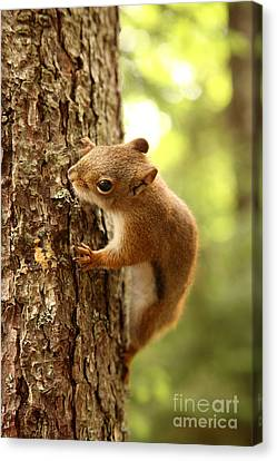 Red Squirrel Canvas Print by Ted Kinsman