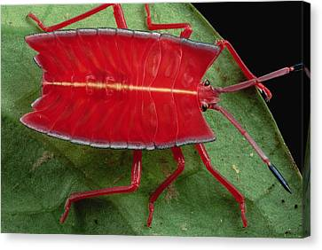 Red Stink Bug Brunei Canvas Print by Mark Moffett