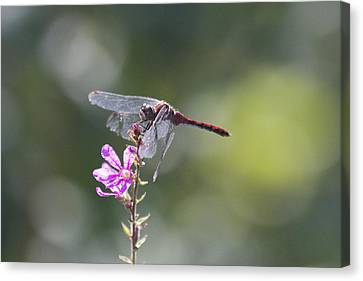 Red Tail Dragonfly Canvas Print by Michel DesRoches