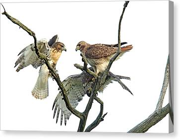 Red-tail Family Canvas Print by Denny Bingaman