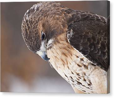 Red Tail Hawk Canvas Print by Cindy Lindow