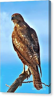 Red Tail Hawk Canvas Print by Robert Bales