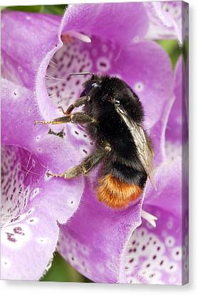 Red-tailed Bumble Bee Canvas Print by Dr Jeremy Burgess