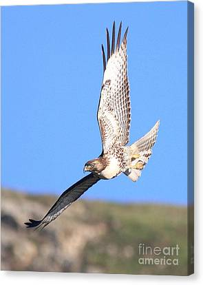 Red-tailed Hawk . 40d10968 Canvas Print by Wingsdomain Art and Photography